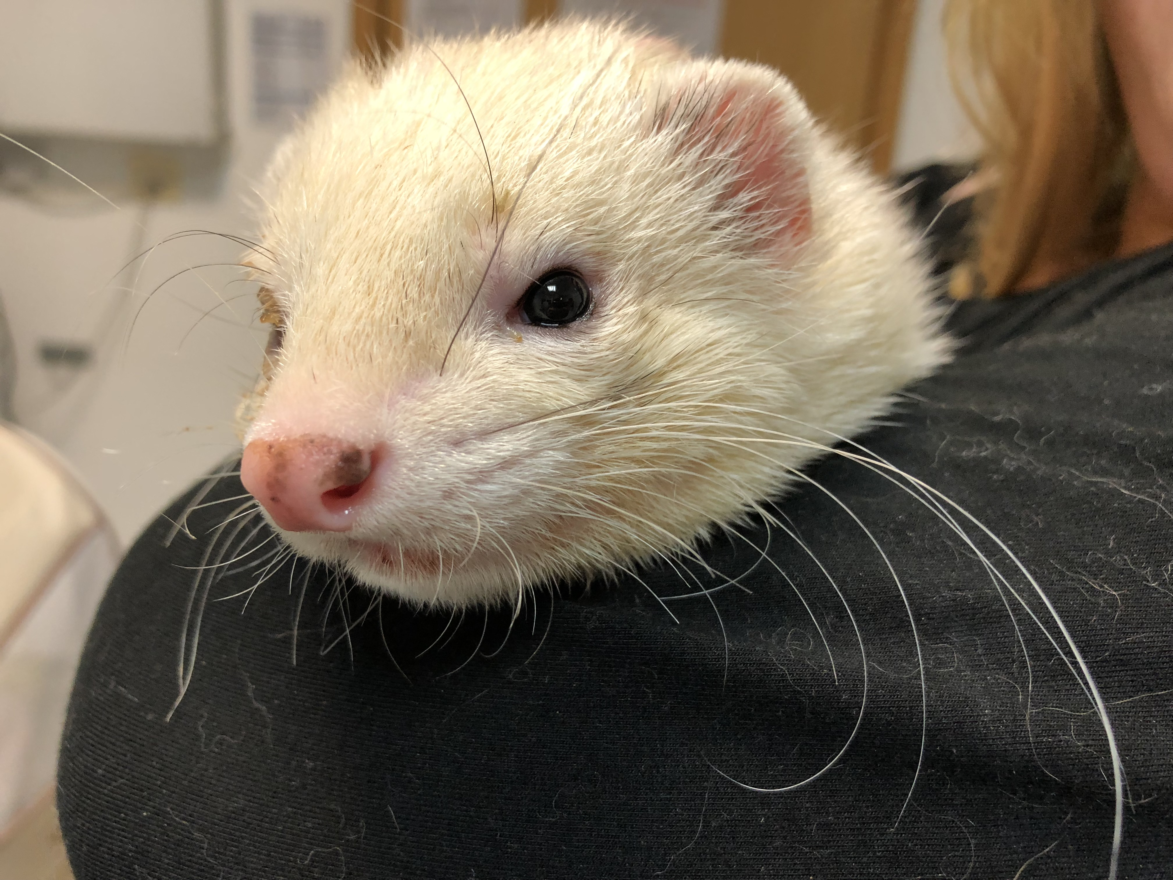Stumpy the straying ferret is reunited with his owner